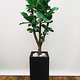 떡갈고무나무 (시멘트사각완성분) 대품 인테리어식물 공기정화식물|Ficus elastica