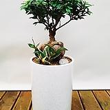 인삼팬더 (일반도자기완성분) 중품 中 개업선물 공기정화식물|
