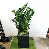 금전수 돈나무 (특대품) 개업선물 Zamioculcas zamiifolia