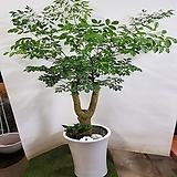 해피트리 행복수 흰색사기 화분 (특대품) happy tree