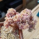 큐빅프로스티철화|Echeveria pulvinata Frosty