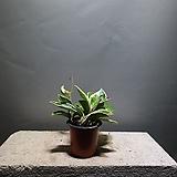 호야 소품 공기정화식물 공룡꽃식물원 15|Hoya carnosa