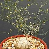드리미아 수입씨앗 5립  (굵은 잎)(from south Africa)
