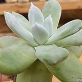 야생 파키피덤|Dudleya pachyphytum