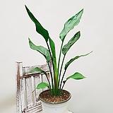 꽃피는 극락조 / 여인초 공기정화식물|