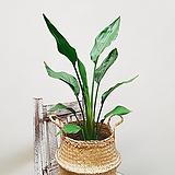 꽃피는 극락조 (포토) + 바구니 / 공기정화식물