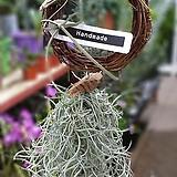 푼키아나리스 수염 틸란드시아|Tillandsia