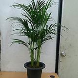 아레카야자나무/아리카야자/높이120센치