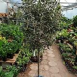 올리브나무 (올리브나무 대품 )자태가  예쁜아이에요 (한정이에요)높이155-160|