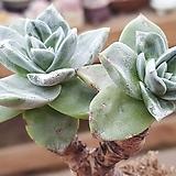 환엽블러쳐스 2두 (미니)|Dudleya farinosa Bluff Lettuce