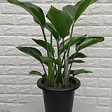 ♥극락조화,여인초 ♥실내 공기정화식물,인테리어식물,