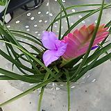 ♥틸란(틸란드시아) 보라색꽃이 예뻐요,|Tillandsia