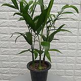 ♥세이브릿지야자,대나무야자 ♥공기정화식물
