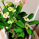꽃기린(베이비핑크의 꽃과 예쁜목대)묵은주/래티스바구니 세트|