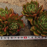 제이드포인트(랜덤)|Echeveria agavoides Jade Point