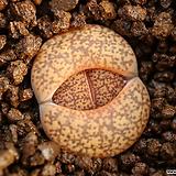 L69_ C015 lesliei v. hornii|