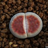 L72_ karasmontana Rateritia red-top|