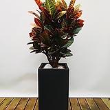 크로톤 (시멘트사각완성분) 대품 개업선물 축하선물 인테리어화분|Codiaeum Variegatum Blume Var Hookerianum