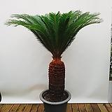 소철 (포트 pp분) 특대 인테리어식물 공기정화식물|