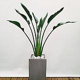 꽃피는 극락조 (시멘트사각완성분) 대품 大  개업선물 축하화분 인테리어식물 공기정화식물|