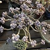 달마미인한몸|Pachyphytum oviferum
