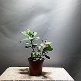 레몬나무 과실수 레몬 공룡꽃식물원 소품 39