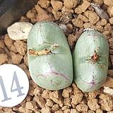 conophytum 레드라인 