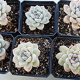 핑크엣지6set|Echeveria pink edge