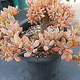리틀뷰티철화|Graptosedum Little Beauty
