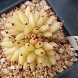 골드동운철화116|Echeveria agavoides f.cristata Echeveria