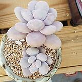 문스톤a39|Pachyphytum Oviferum Moon Stone
