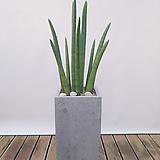 스투키 (시멘트사각완성분) 대품 집들이선물 공기정화식물|Sansevieria Stuckyi
