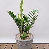 금전수(시멘트완성원분) 중품 개업선물 승진선물|Zamioculcas zamiifolia