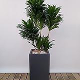 콤펙타 콤팩타 (시멘트사각완성분) 대품 개업선물 축하선물 공기정화식물|