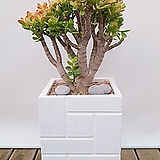 칼라 미니종 염좌 (시멘트사각완성분) 중품 축하선물 개업선물 인테리어식물