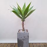 아가베 (시멘트사각완성분) 대품 공기정화식물 신혼집인테리어|