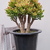 칼라 미니종 염좌 대품 공기정화식물|