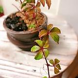 오엽담쟁이 묵은주(색상이 정말 예쁘도 잎장도 귀여운)행잉수제분세트/랜덤|Handmade Flower pot