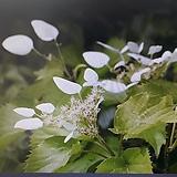 흰바위수국(재입고)|Hydrangea macrophylla