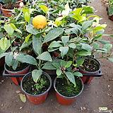레몬나무 소품 