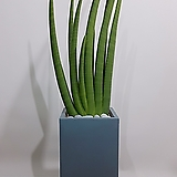 스투키 (시멘트사각완성분) 대품 인테리어식물 공기정화식물|Sansevieria Stuckyi