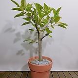 뱅갈고무나무 (토분완성분) 대품 개업선물 축하선물 카페인테리어|Ficus elastica