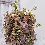 돌단풍 (노지월동가능) 수경재배가능 인테리어식물|