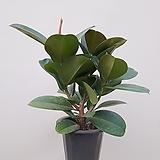 고무나무 미세먼지식물 공기정화식물|Ficus elastica