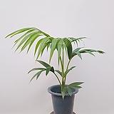 겐차야자 중품 공기정화식물 미세먼지식물|