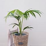 겐차야자 + 바구니 (세트) 공기정화식물 미세먼지식물|