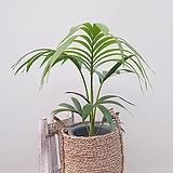 겐차야자 + 손잡이 바구니 (세트) 공기정화식물 미세먼지식물|