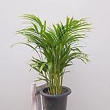 아레카야자 공기정화식물 축하선물|