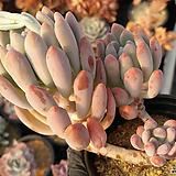 동미인(자연.목대.얼큰이)01|Pachyveria pachyphytoides Walth
