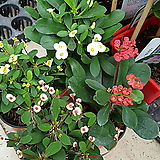 꽃기린 소품 4색 핑크,빨강, 연노랑, 흰색 